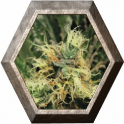 Pure Kush 1 semillas Green House Seeds