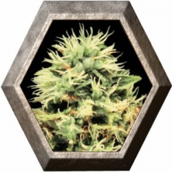 Super Bud 5 semillas Green House Seeds