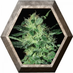 Super Critical 3 semillas Green House Seeds