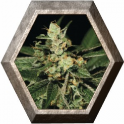 Trainwreck 3 semillas Green House Seeds