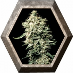 White Rhino 1 semilla Green House Seeds