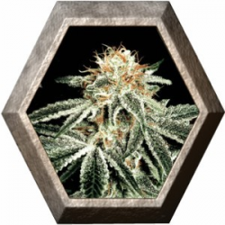 White Widow 1 semilla Green House Seeds