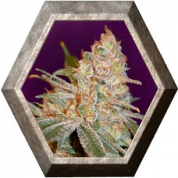 Black Diesel 1 semilla Advanced Seeds ADVANCED SEEDS ADVANCED SEEDS
