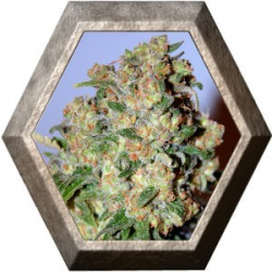 Critical 1 semilla Advanced Seeds ADVANCED SEEDS ADVANCED SEEDS
