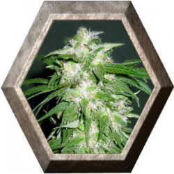 Ice Kush 1 semilla Advanced Seeds ADVANCED SEEDS ADVANCED SEEDS