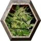 Jack PLant 1 semilla Advanced Seeds ADVANCED SEEDS ADVANCED SEEDS
