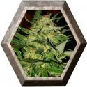 Jack PLant 1 semilla Advanced Seeds