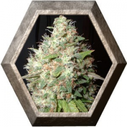Bubble Cheese 5 semillas Big Buddha Seeds