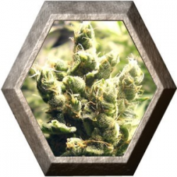 Cheesus 5 semillas Big Buddha Seeds