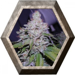 Chiesel 5 semillas Big Buddha Seeds