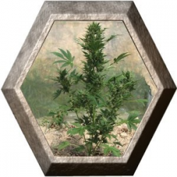Automatic 5 semillas Big Buddha Seeds