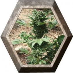 Super Automatic Sativa 5 semillas Big Buddha Seeds