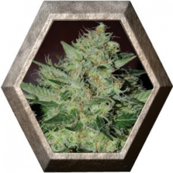 Freeze Cheese 89 5 semillas Big Buddha Seeds