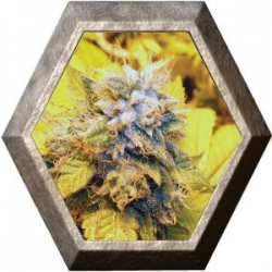 Cheese Dawg 5 semilla Big Buddha Seeds