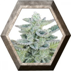 Super Kush 5 semillas Seedmakers SEEDMAKERS SEEDMAKERS