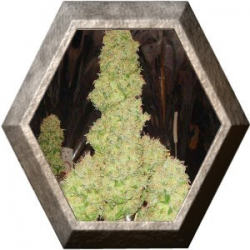 Auto White Russian 6 semillas Serius Seeds