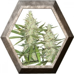 Outlaw 3 semillas Dutch passion DUTCH PASSION SEEDS DUTCH PASSION SEEDS