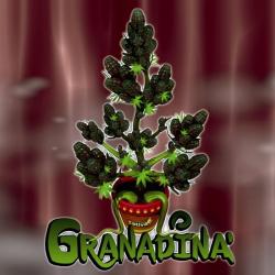 Granadina 1 semilla Sativagrow SATIVAGROW SATIVAGROW