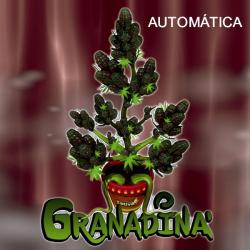 Granadina Auto 1 semilla Sativagrow SATIVAGROW SATIVAGROW